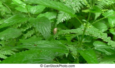 snail sitting on a bush of nettles in the woods