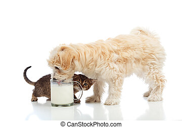 Small dog and kitten craving the same milk- isolated