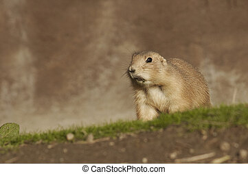 A Prairie Dog Hunting - A prairie dog is on hunting