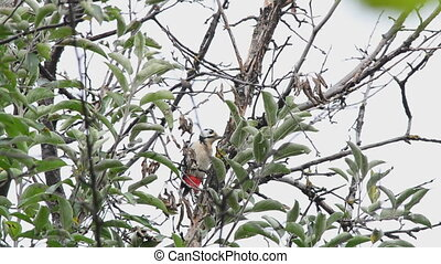 Woodpecker eats walnuts on a tree