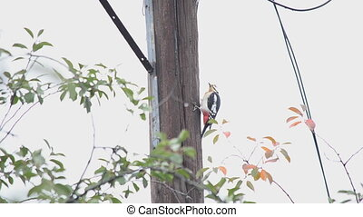 Woodpecker, sits on a pillar