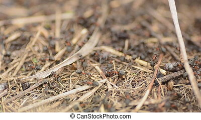 Ants on an anthill closeup, dolly shot