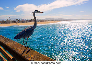 Blue Heron Ardea cinerea in Newport pier California - Great...