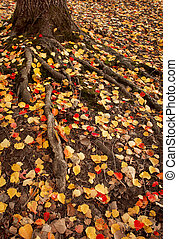 Autumn Roots - Colourful leaves scattered around some large...