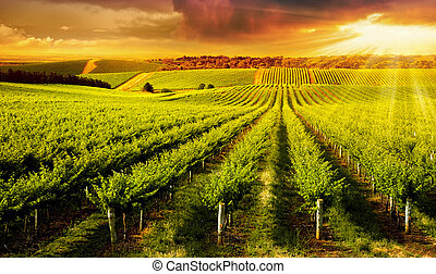 Winery Gold - A Beautiful Sunset over vineyard in South...