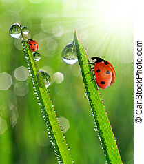 dew drops and ladybugs - fresh grass with dew drops and...
