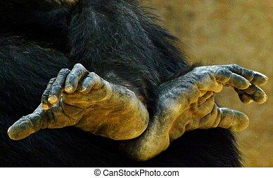 Chimp Feet - Feet of a chimpanzee