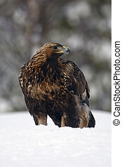 Golden eagle, Aquila chrysaetos single bird in deep snow,...