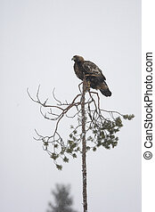 Golden eagle, Aquila chrysaetos, single bird on tree,...
