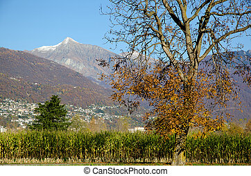 Corn field in autumn with snow-capped alps