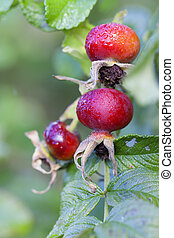 Rosehip - fruits - water drops - Rosehip fruit with dew...