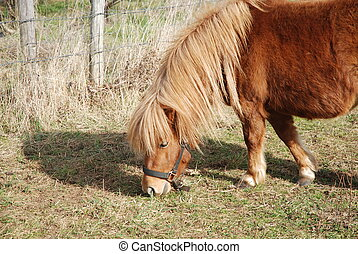 shetland pony - beautiful shetland pony pasturing a meadow