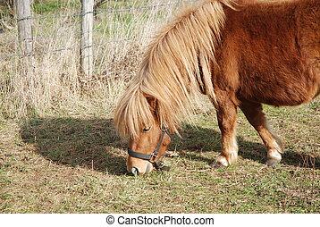 shetland pony - beautiful shetland pony pasturing a meadow