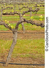 shiraz after budburst - shiraz vineyard in early spring with...