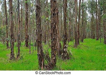 shaggy bark - plantation of young eucalypts with shaggy bark