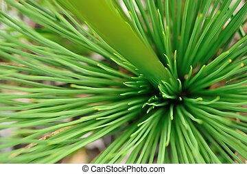 porcupine in green - top view of grass tree Xanthorrhoea,...