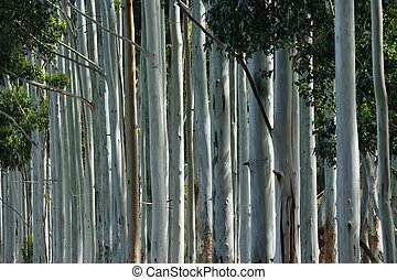 brown stripe - array of smooth grey trunked gum trees