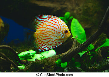 Orange discus fish in aquarium close-up photo
