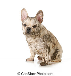 muddy dirty dog - dirty dog - french bulldog covered in mud...