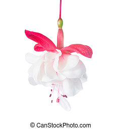 flower of a red and white fuchsia, isolated on the white -...