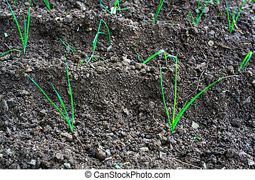 Onion plants - Photo of Onion plants in the ground