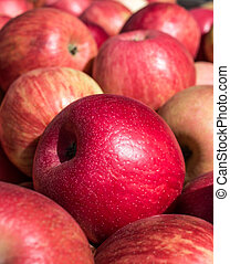 Ripe Honey Crisp Apples - Closeup of freshly harvested honey...