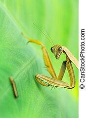 Praying mantis watches larva - Larva crawls on leaf under...