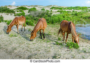 Three wild horses of Corolla - The wild horses are...