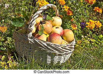 Apples in the basket - Ripe red and yellow apples in the...