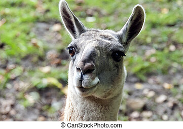 Guanaco - A closeup of the head of a guanaco (Lama guanicoe)