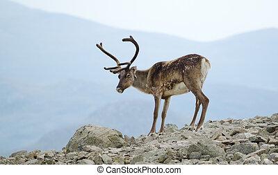 Spectacular reindeer - A reindeer in Jotunheimen national...