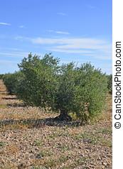 aceituna, plantación, árboles