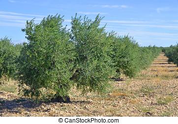 plantación, aceituna, árboles