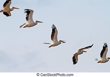 interesting formation of great pelicans pelecanus...