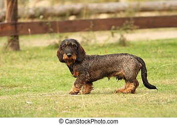 tekkel breed standing on green grass - beautiful cute tekkel...
