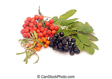 buck thorn, ashberry and chokeberry with leaves on a white...