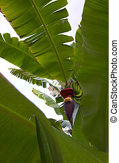 Tropical plant - Bananas growing on a tree in Hawaii garden