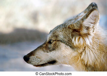 Gray wolf or grey wolf Canis lupus portrait