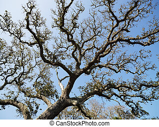 Live oak tree. - Low angle view of branches of live oak tree...