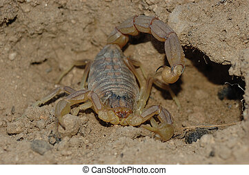 Scorpion (Buthus occitanus) - Common Yellow Scorpion (Buthus...