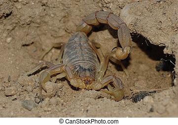 Escorpión, (Buthus, occitanus)