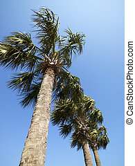 Palm trees. - Low angle view of palms trees with blue sky.