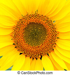 Image of beautiful sunflower photographed close