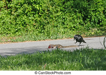 Crow Food - A hungry crow approaches a dead squirrel lying...
