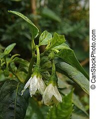 flowers of Common Chili, Capsicum annuum