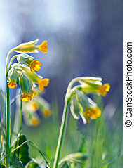cowslip - Close up of cowslip or primula veris, one of the...
