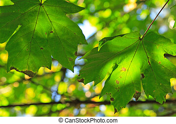 Green Leaves aging on the tree in Autumn