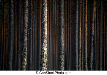 pine trees in evening light - Trunks of pine trees in...