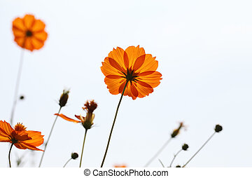 cosmos flower - set of cosmos flower against a sky