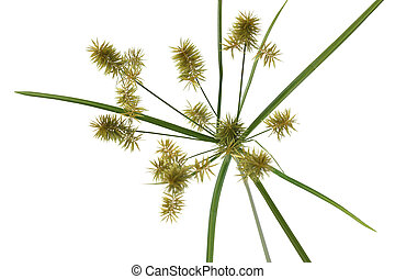 Umbrella Sedge - Cyperus eragrostis Umbrella Sedge grass...
